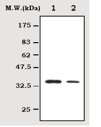 Western blot - Anti-Hes1 antibody [7H11] (ab70576)