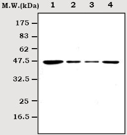 Western blot - MEK2 antibody [1A1] (ab70590)