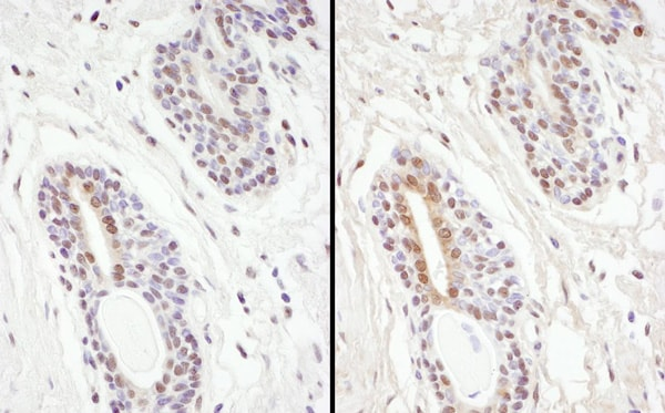 Immunohistochemistry (Formalin/PFA-fixed paraffin-embedded sections) - Anti-PP-X antibody (ab70623)