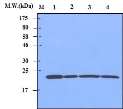 Western blot - Anti-Peroxiredoxin 1/PAG antibody [3G5] (ab70666)