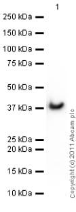 Western blot - Anti-GAPDH antibody - Loading Control (ab70699)