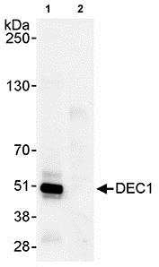Immunoprecipitation - Anti-SHARP2/DEC1 antibody (ab70723)