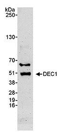 Western blot - Anti-SHARP2/DEC1 antibody (ab70723)