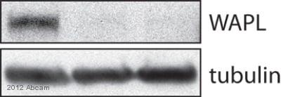 Western blot - Anti-WAPL/FOE antibody (ab70741)