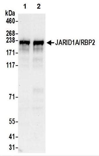 Western blot - Anti-KDM5A / Jarid1A / RBBP2 antibody (ab70892)