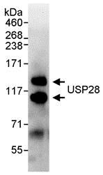 Immunoprecipitation - Anti-USP28 antibody (ab70893)