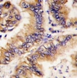 Immunohistochemistry (Formalin/PFA-fixed paraffin-embedded sections) - Anti-TRAPPC4 antibody - Aminoterminal end (ab70906)
