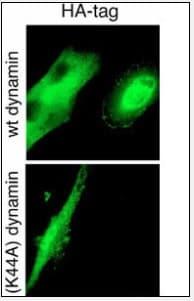 Immunocytochemistry/ Immunofluorescence - Anti-HA tag antibody (ab71113)