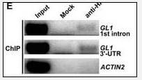 ChIP - Anti-HA tag antibody (ab71113)