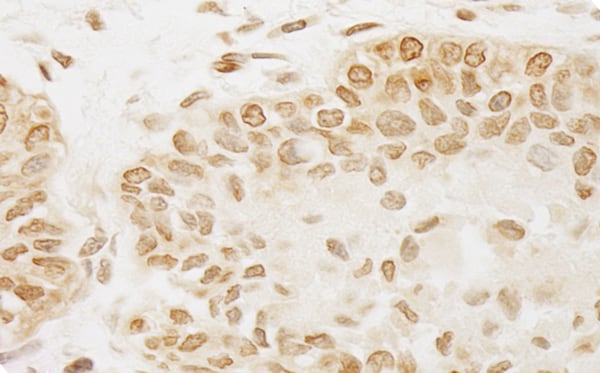 Immunohistochemistry (Formalin/PFA-fixed paraffin-embedded sections) - Anti-PP-T antibody (ab71150)