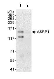 Immunoprecipitation - Anti-ASPP1 antibody (ab71163)
