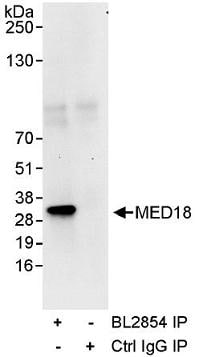 Immunoprecipitation - Anti-MED18 antibody (ab71556)