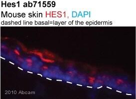 Immunohistochemistry (Frozen sections) - Anti-Hes1 antibody (ab71559)