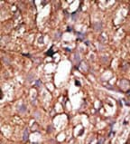 Immunohistochemistry (Formalin/PFA-fixed paraffin-embedded sections) - Anti-CD73 antibody - C-terminal (ab71822)