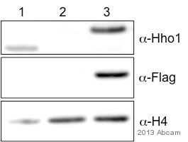 Western blot - Anti-Hho1 antibody (ab71833)