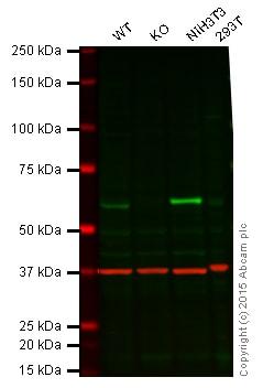 Western blot - Anti-STK3/MST-2 antibody [3067C3a] (ab71960)