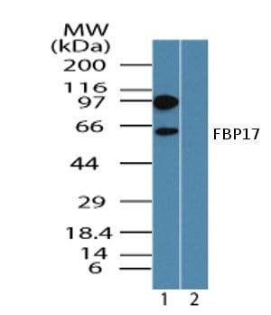 Western blot - Anti-FBP17 antibody (ab72048)