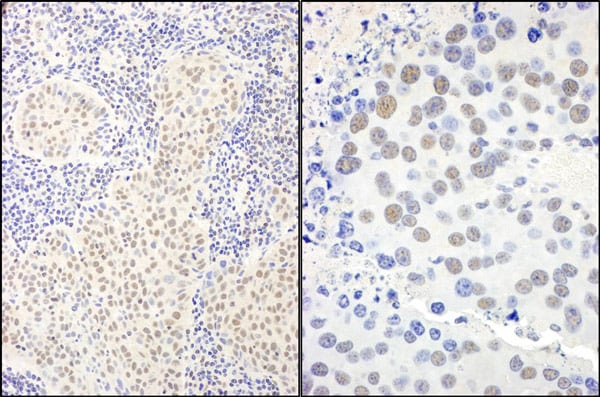 Immunohistochemistry (Formalin/PFA-fixed paraffin-embedded sections) - Anti-BANP antibody (ab72076)