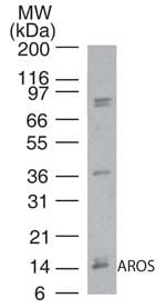 Western blot - Anti-RPS19BP1 antibody (ab72092)