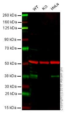 Western blot - Anti-IKB alpha antibody [7A4] (ab72135)