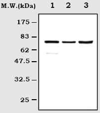 Western blot - Anti-RIP antibody [7H10] (ab72139)