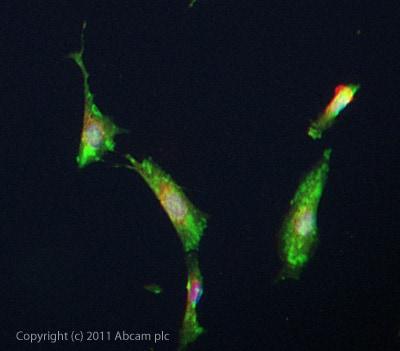 Immunocytochemistry/ Immunofluorescence - Anti-FAM3C/ILEI antibody (ab72182)