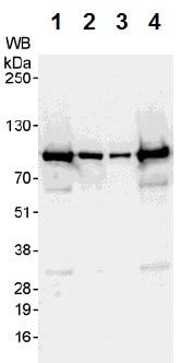 Western blot - Anti-AKAP 95 antibody (ab72196)