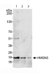 Western blot - Anti-HMGN3 antibody (ab72233)