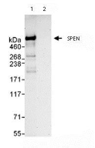 Immunoprecipitation - Anti-SPEN antibody (ab72266)