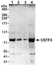 Western blot - Anti-CSTF3 antibody (ab72299)