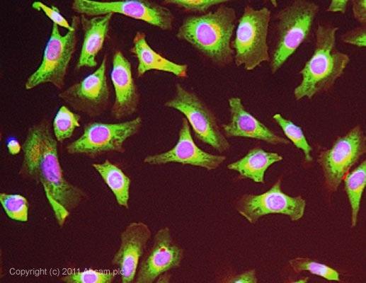 Immunocytochemistry/ Immunofluorescence - Anti-Elongation factor 1-gamma antibody (ab72368)
