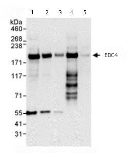 Western blot - Anti-EDC4 antibody (ab72408)