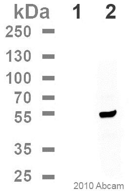 Western blot - Anti-DDDDK tag (Binds to FLAG® tag sequence) antibody [M2] (Phycoerythrin) (ab72469)