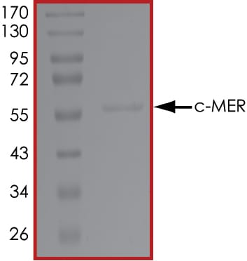 SDS-PAGE - Recombinant human MERTK protein (ab72490)