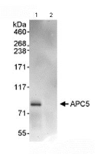 Immunoprecipitation - Anti-Apc5 antibody (ab72516)