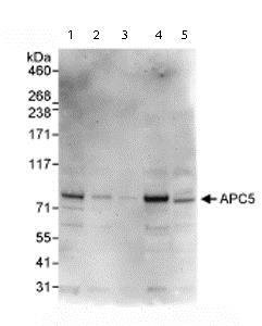 Western blot - Anti-Apc5 antibody (ab72516)
