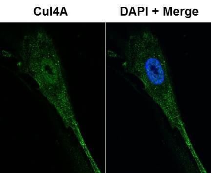 Immunocytochemistry/ Immunofluorescence - Anti-Cullin 4A/CUL-4A antibody (ab72548)
