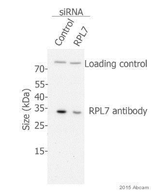 Western blot - Anti-RPL7 antibody (ab72550)