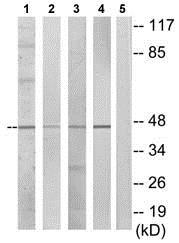 Western blot - Anti-DUSP4 antibody (ab72593)