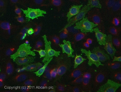 Immunocytochemistry/ Immunofluorescence - Anti-Chemerin antibody (ab72965)