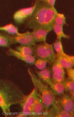 Immunocytochemistry/ Immunofluorescence - Anti-TMEM16A antibody (ab72984)