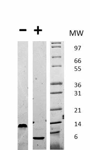Other - Recombinant mouse EGF protein (ab72994)