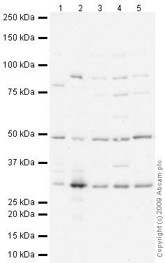 Western blot - Anti-IMPA1 antibody (ab73074)