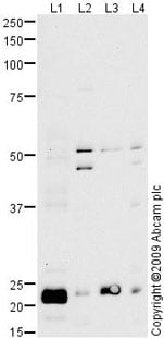 Western blot - Anti-Peroxiredoxin 3/PRDX3 antibody (ab73349)