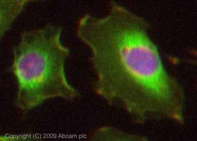 Immunocytochemistry/ Immunofluorescence - Anti-Peroxiredoxin 6 antibody (ab73350)