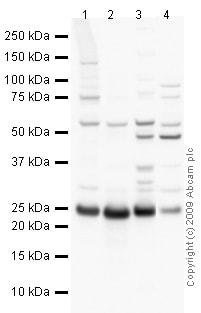 Western blot - Anti-Peroxiredoxin 6 antibody (ab73350)