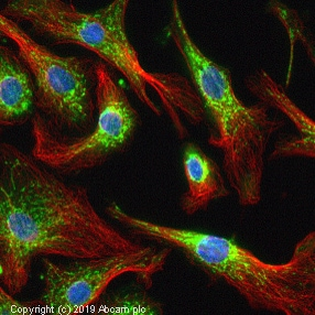 Immunocytochemistry/ Immunofluorescence - Anti-Glutamine Synthetase antibody (ab73593)