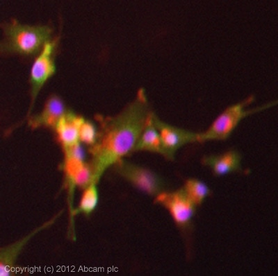 Immunocytochemistry/ Immunofluorescence - Anti-Viperin antibody (ab73864)