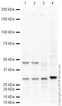 Western blot - Anti-IGFBP7 antibody (ab74169)