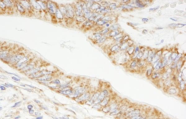 Immunohistochemistry (Formalin/PFA-fixed paraffin-embedded sections) - Anti-RNF22 antibody (ab74189)